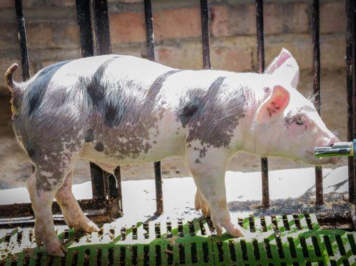 SAN ISIDRO LABRADOR (Porcino)