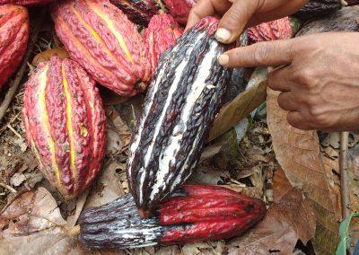 MUJERES TECNÓLOGAS (Cacao)