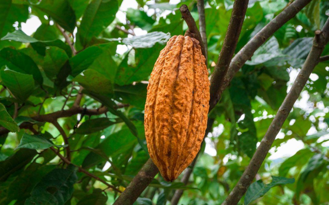 NUEVO PROGRESO (Cacao)