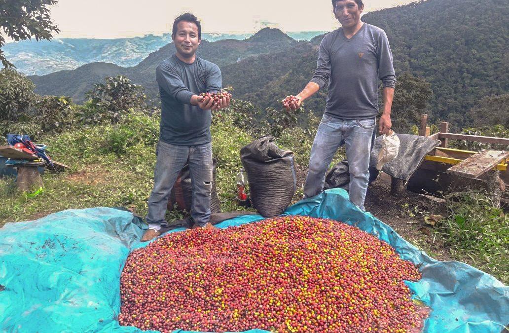 VRAEM: 730 hectáreas de coca fueron reconvertidas a café a través de los Proyectos de Reconversión Productiva Agropecuaria
