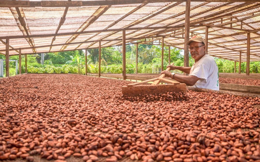 Cacao de Huánuco quedó entre los siete mejores del país según el Programa Cacao de Excelencia