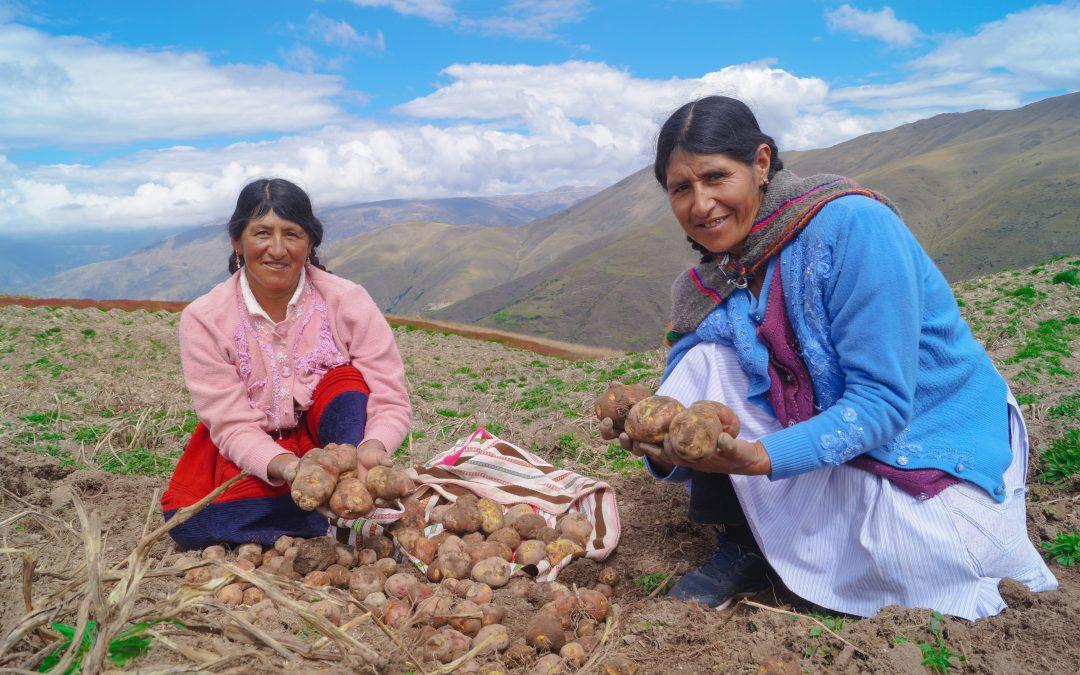 Con una inversión de S/13.9 millones, MINAGRI mejoró las capacidades productivas de más de 1400 productores de papa